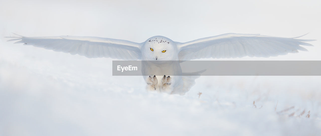 Portrait Of Snowy Owl Flying Against Clear Sky