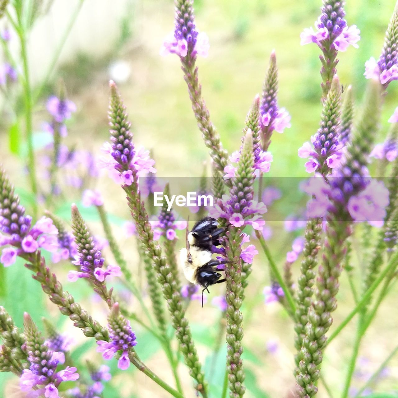insect, bee, animal themes, flower, one animal, animals in the wild, nature, honey bee, growth, plant, fragility, pollination, wildlife, animal wildlife, beauty in nature, no people, purple, day, symbiotic relationship, bumblebee, petal, outdoors, buzzing, freshness, close-up, flower head