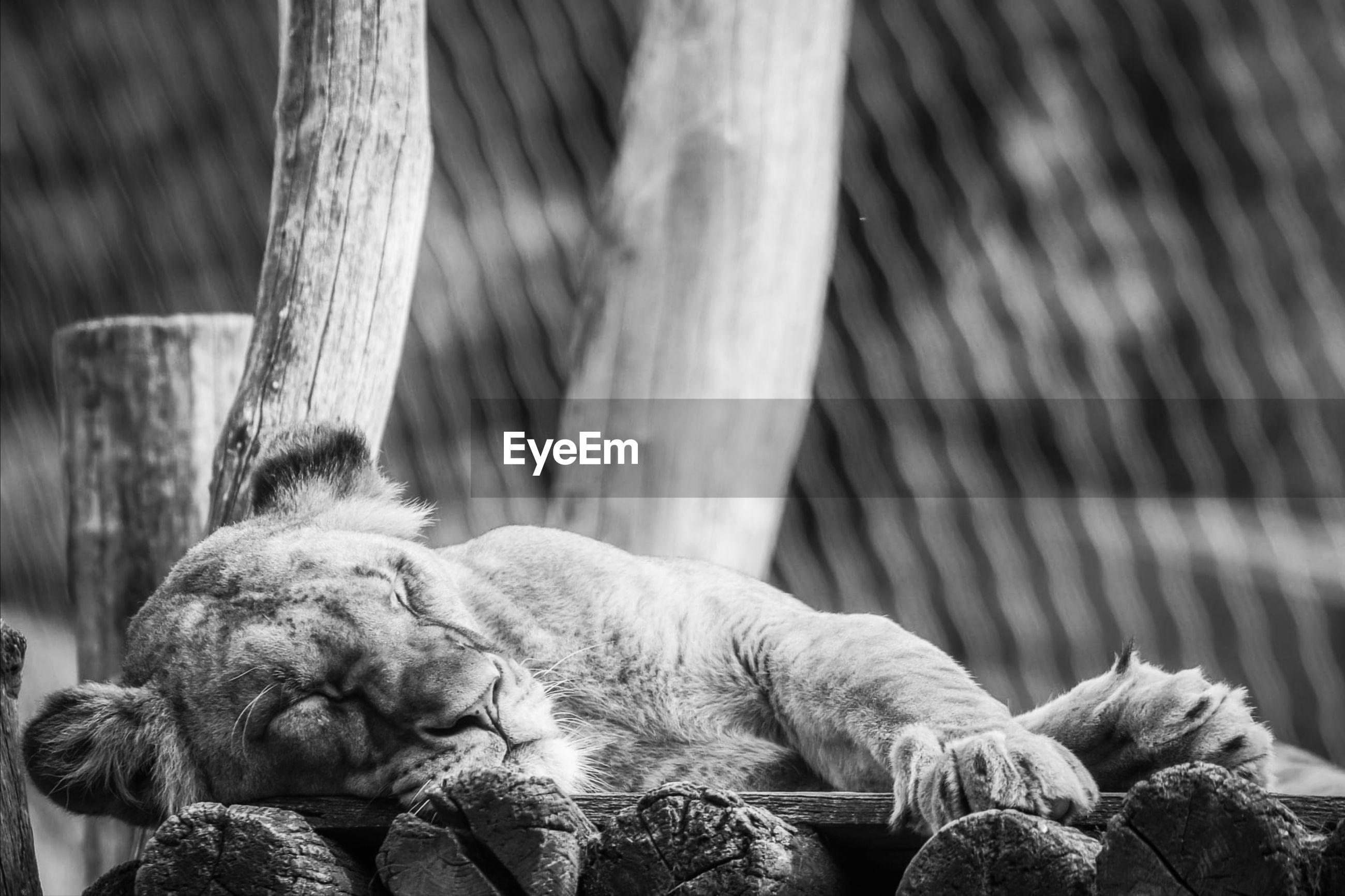 Cat sleeping in a zoo