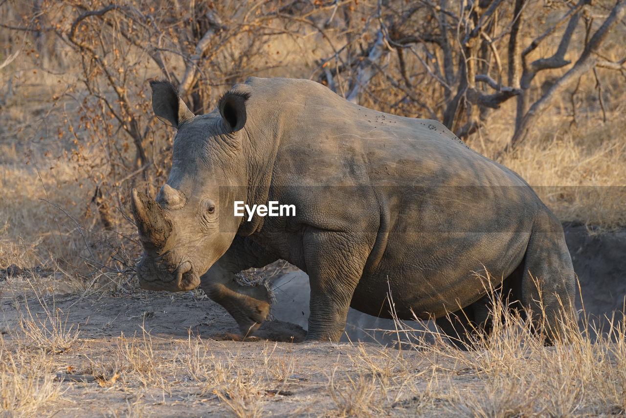 Side view of rhinozeros on land
