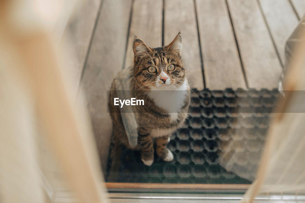 Kurilian bobtail sitting o rubber mat on street near glass door.  let the cat in the house