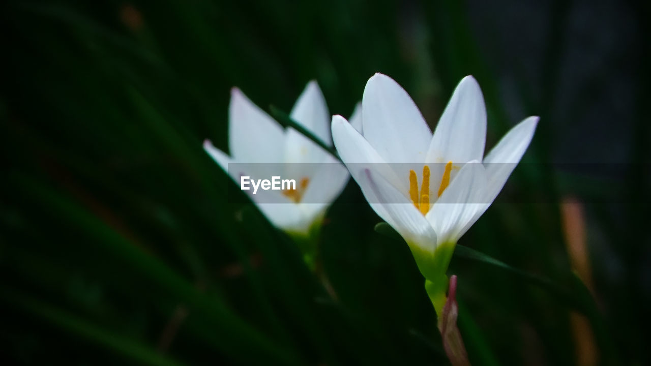 vulnerability, plant, fragility, freshness, growth, beauty in nature, flower, close-up, petal, flowering plant, white color, inflorescence, no people, flower head, nature, focus on foreground, day, pollen, selective focus, outdoors