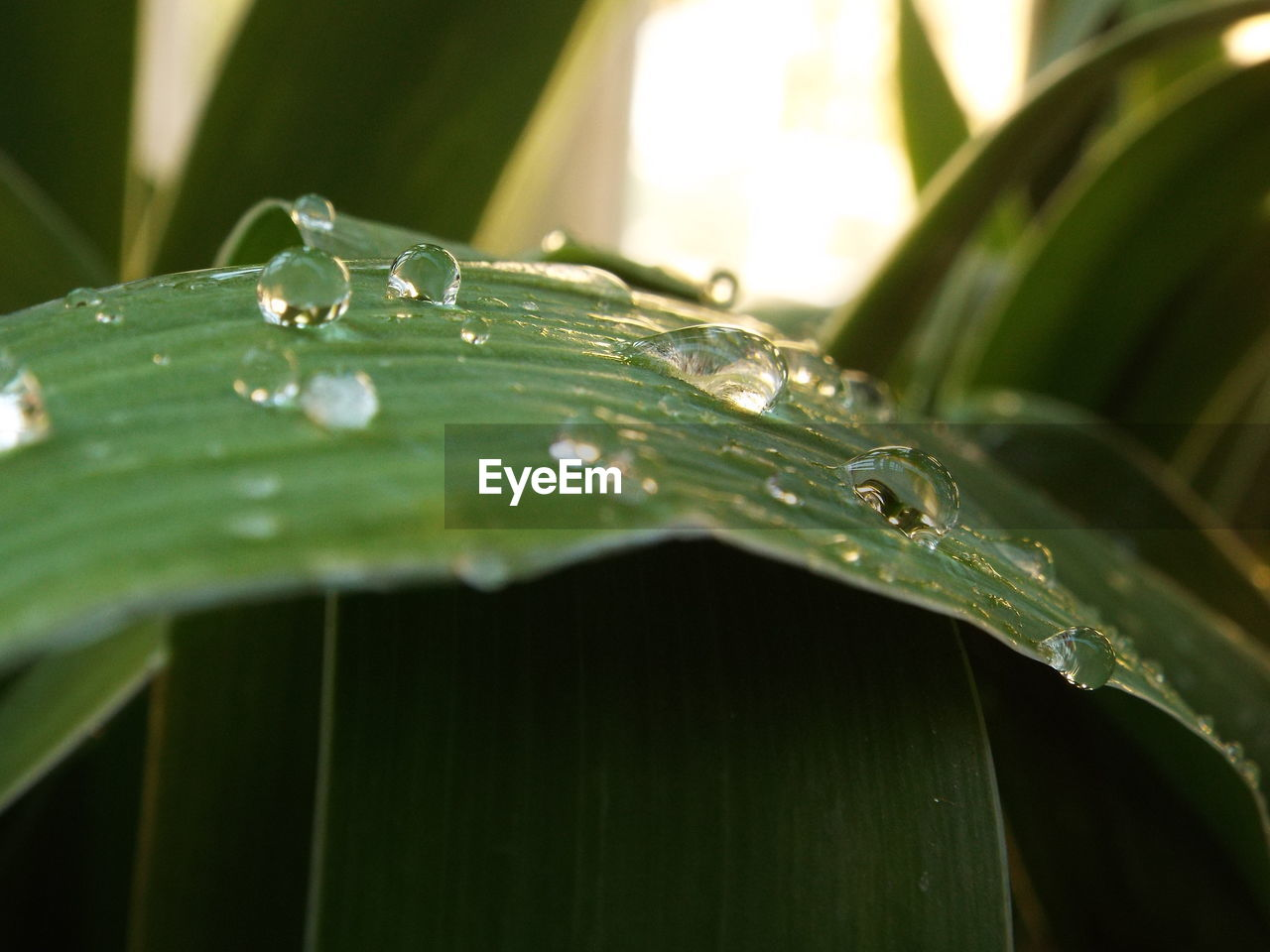 CLOSE-UP OF WATER DROPS ON PLANT LEAF