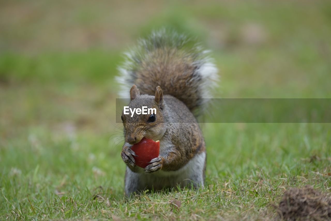 Close-up of squirrel eating food on field