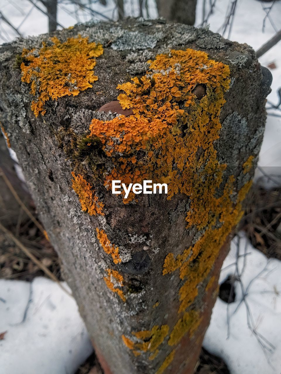close-up, tree trunk, trunk, day, focus on foreground, no people, snow, winter, cold temperature, tree, lichen, plant, nature, outdoors, textured, orange color, fungus, rough, beauty in nature, bark