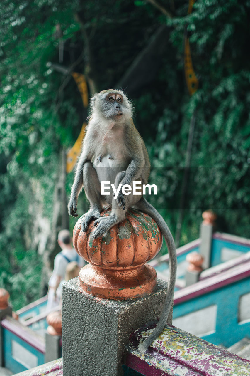focus on foreground, animal themes, animal, primate, animal wildlife, animals in the wild, monkey, vertebrate, one animal, mammal, day, no people, tree, nature, outdoors, metal, plant, close-up