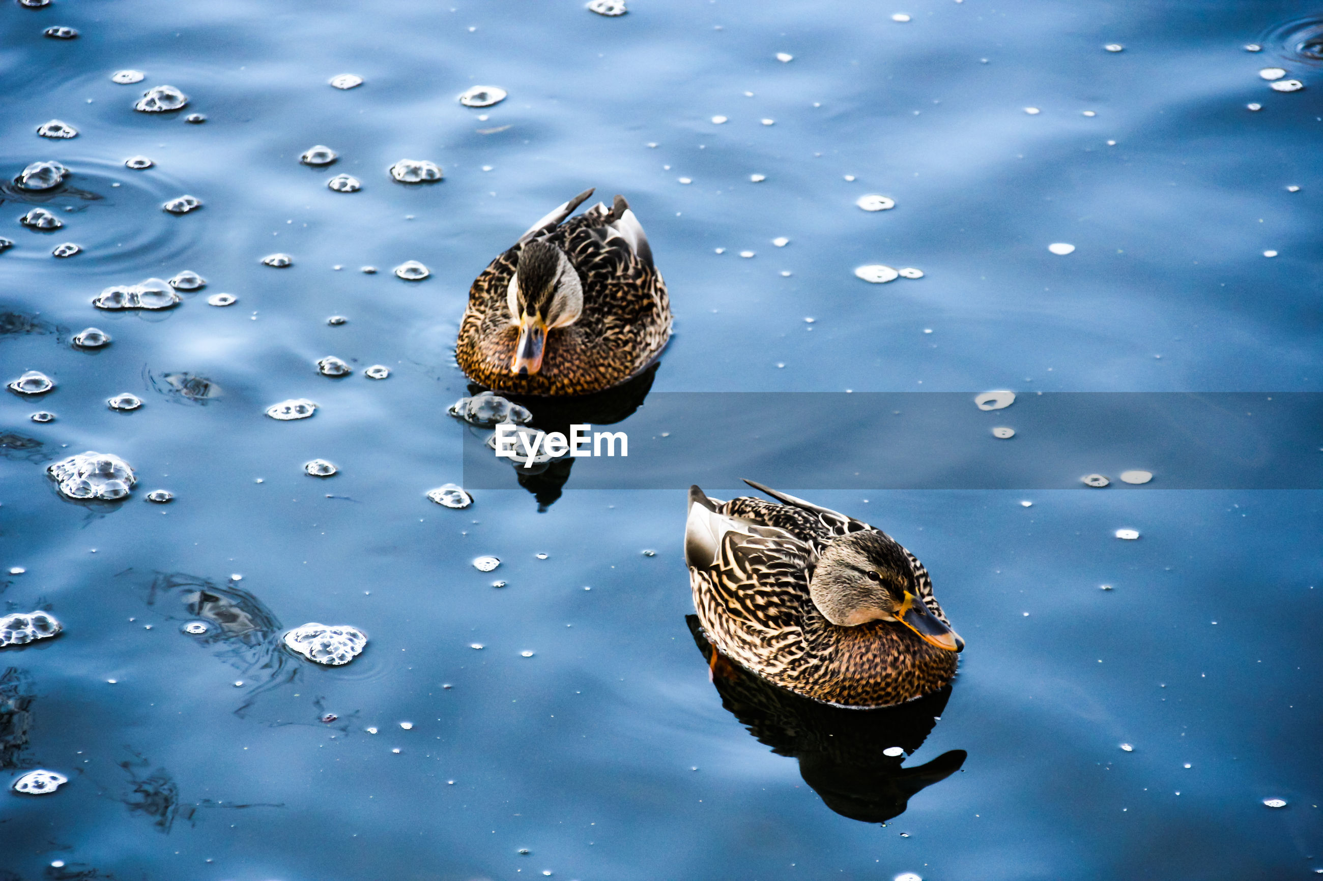 HIGH ANGLE VIEW OF BIRDS SWIMMING ON LAKE