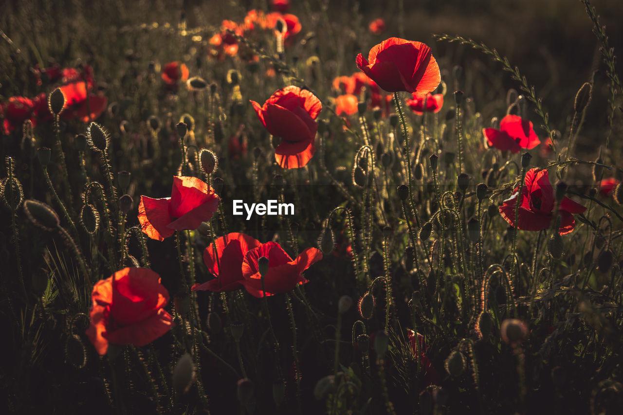 Red Poppy Flowers Blooming In Meadow