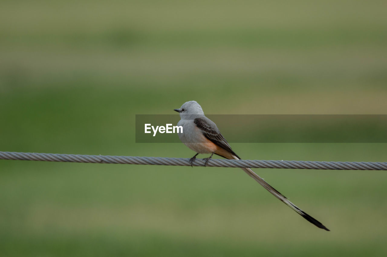 bird, animal themes, vertebrate, animal, animal wildlife, animals in the wild, one animal, perching, focus on foreground, no people, day, fence, metal, outdoors, boundary, nature, close-up, rope, barrier, green color
