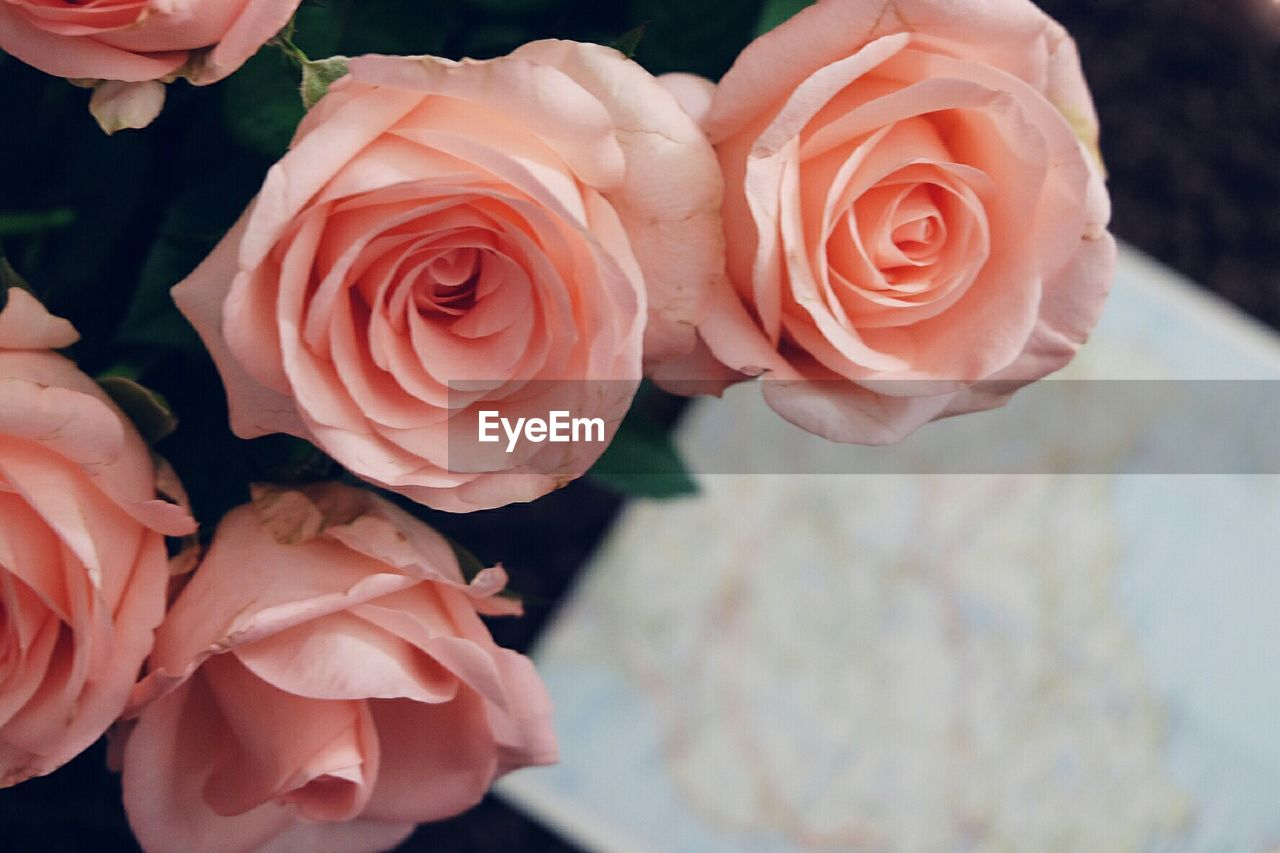 flower, rose - flower, petal, flower head, beauty in nature, nature, fragility, freshness, growth, plant, close-up, blooming, no people, outdoors, day