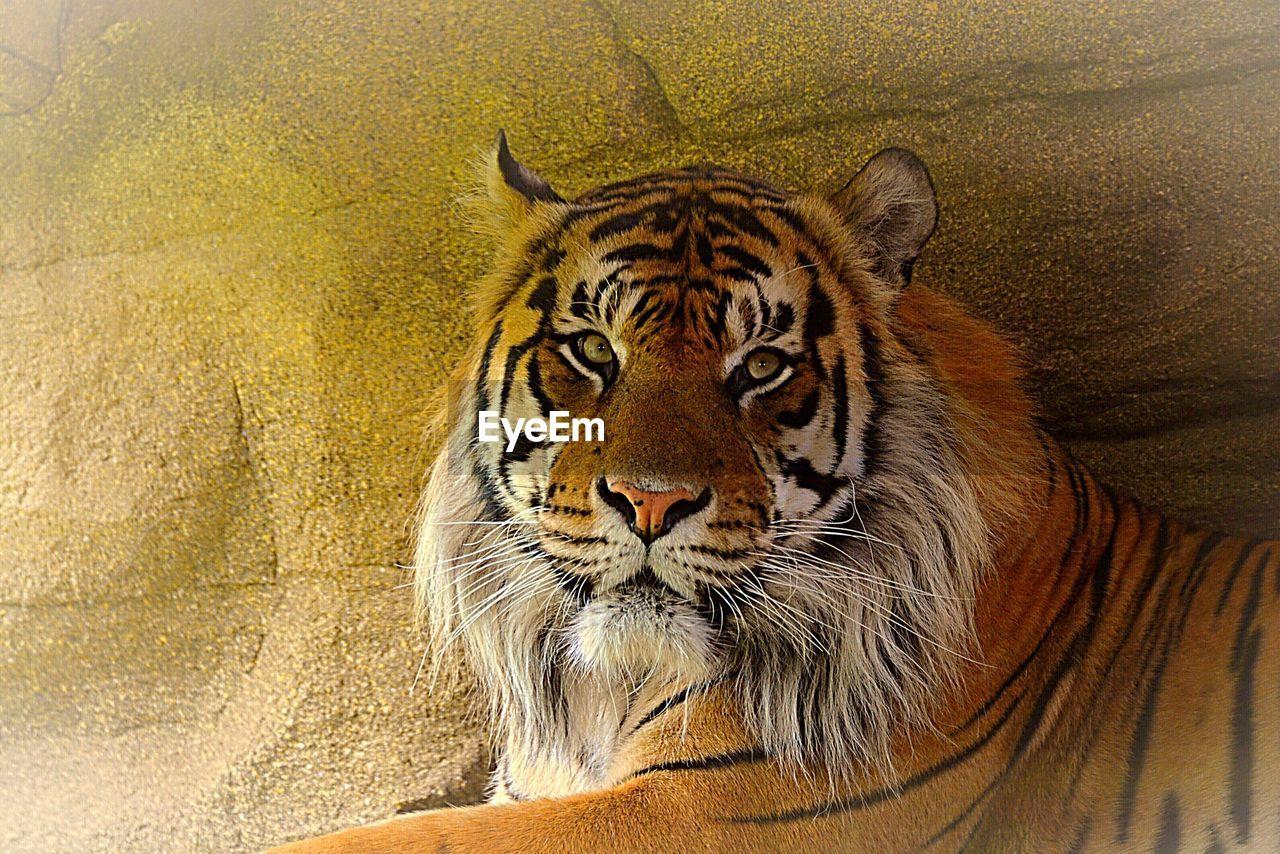 animal wildlife, animal, animal themes, tiger, one animal, big cat, animals in the wild, feline, cat, mammal, vertebrate, close-up, carnivora, no people, animal body part, animal head, whisker, day, endangered species, outdoors, zoo