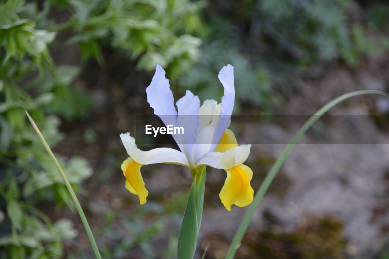 flowering plant, flower, fragility, vulnerability, petal, plant, beauty in nature, freshness, growth, close-up, inflorescence, flower head, focus on foreground, white color, no people, nature, day, land, field, outdoors, iris, purple, iris - plant, crocus