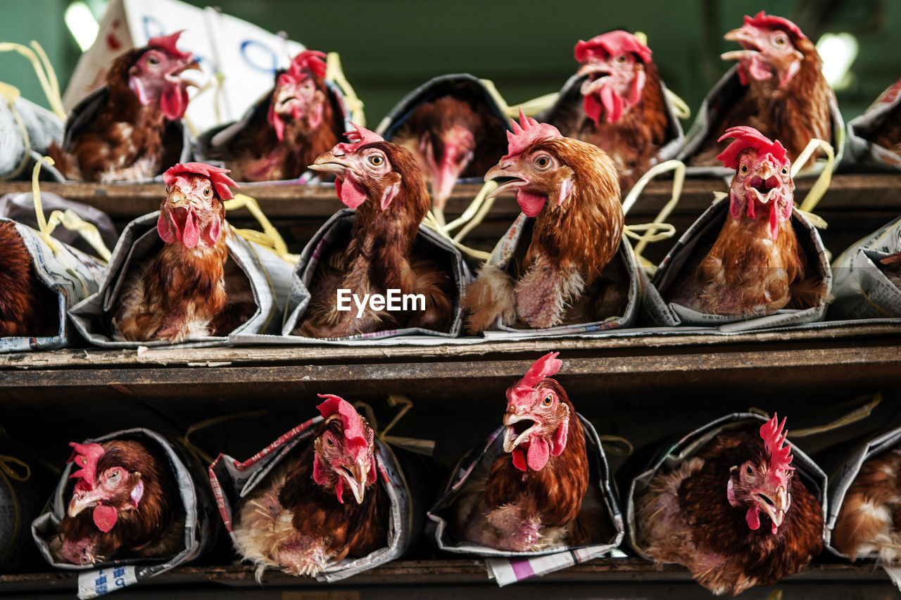 Chickens In Poultry