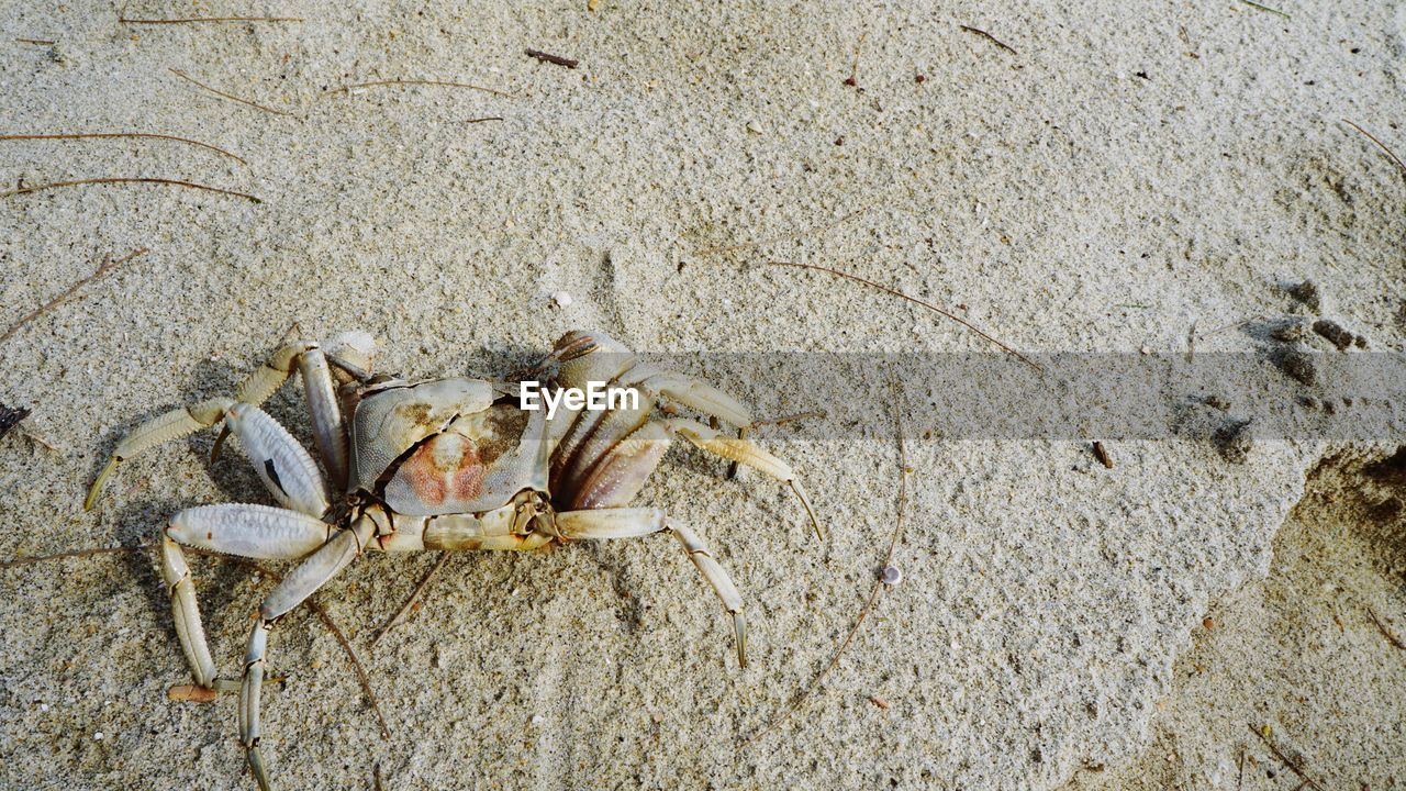 crab, animal wildlife, animal themes, animals in the wild, animal, sand, crustacean, beach, land, one animal, sea, day, nature, no people, high angle view, sea life, marine, close-up, outdoors, claw