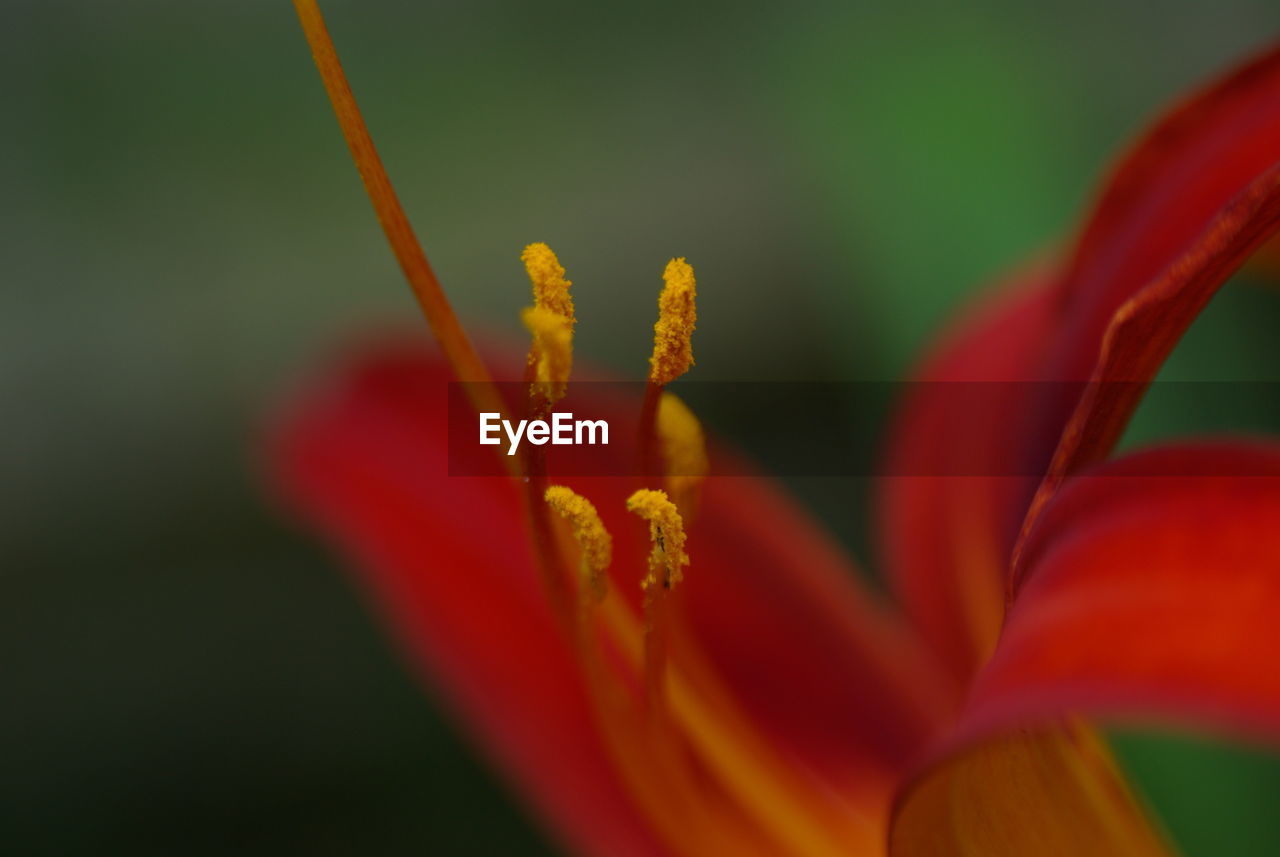 flower, petal, beauty in nature, growth, fragility, nature, freshness, flower head, plant, close-up, red, blooming, no people, outdoors, yellow, day, day lily