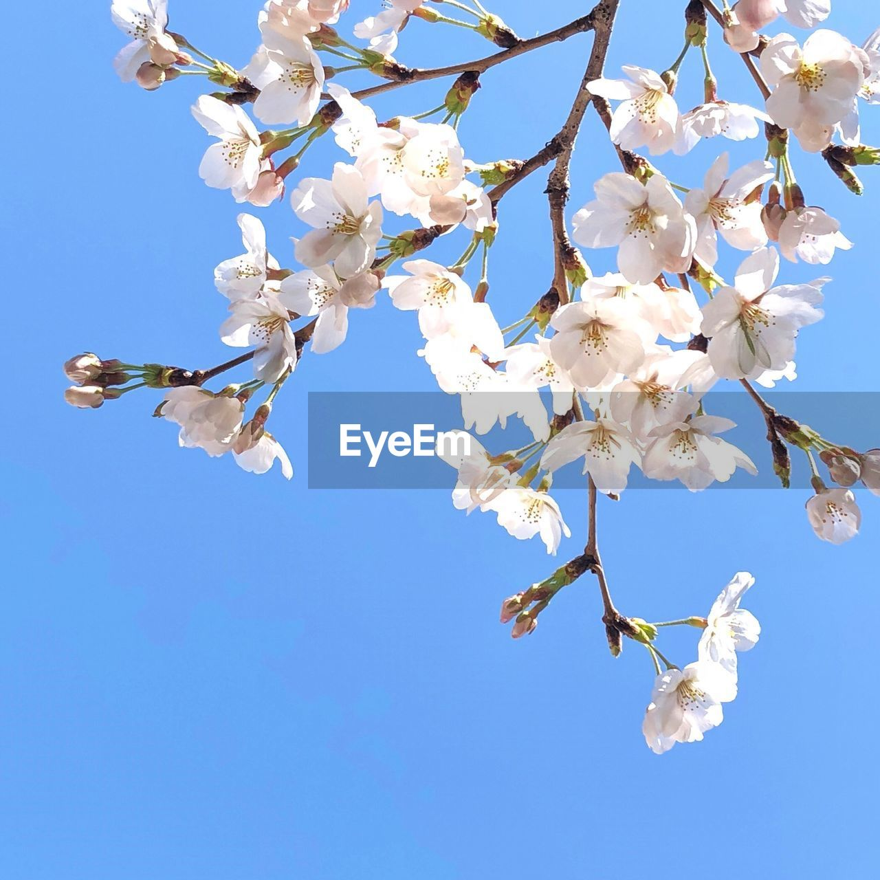 flower, blossom, fragility, beauty in nature, tree, springtime, nature, white color, low angle view, branch, growth, apple blossom, botany, no people, blue, day, petal, clear sky, freshness, tranquility, outdoors, flower head, sky