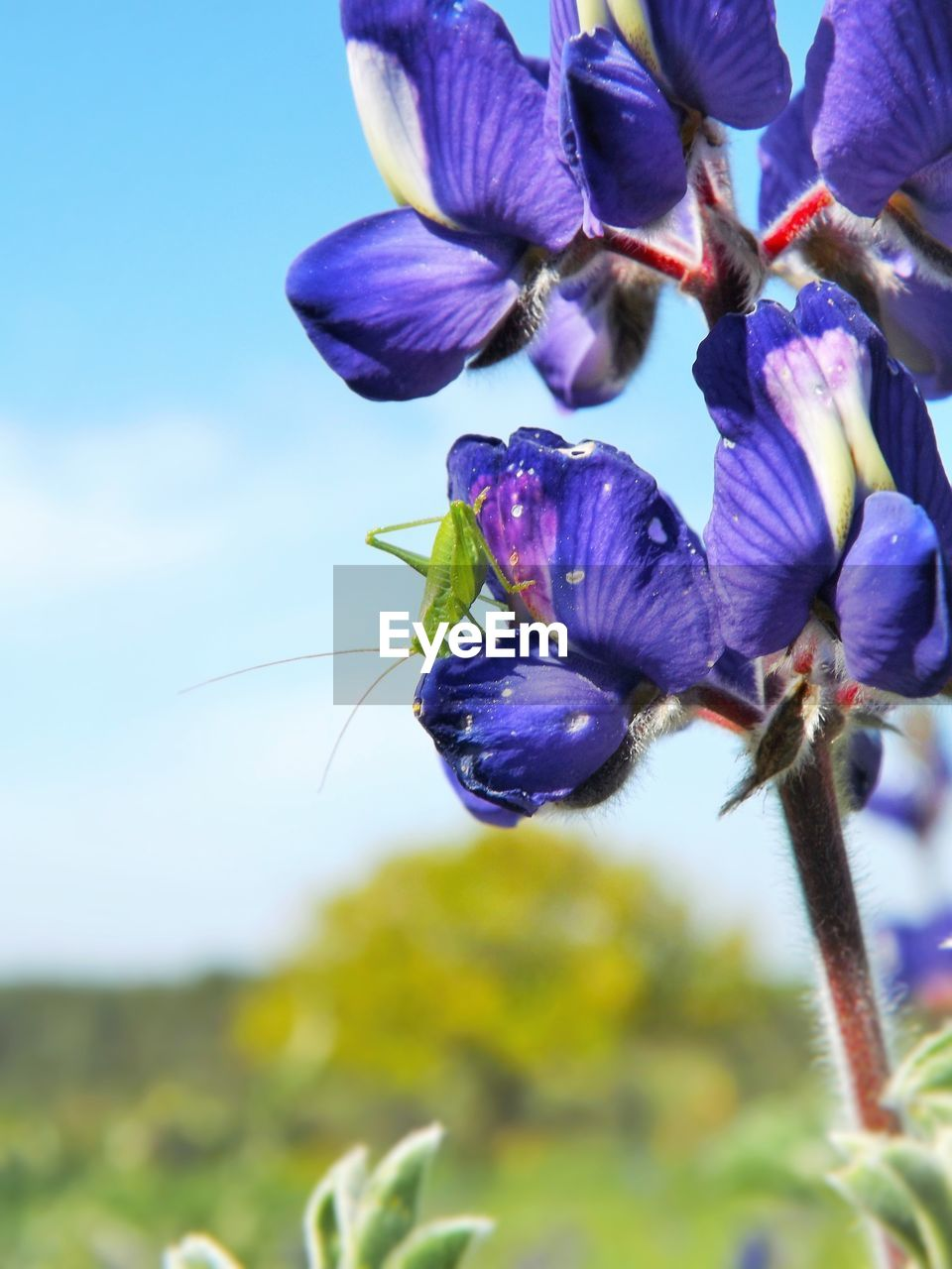 flowering plant, flower, plant, growth, freshness, beauty in nature, fragility, vulnerability, petal, close-up, inflorescence, purple, nature, flower head, focus on foreground, no people, sky, day, botany, outdoors, springtime, sepal