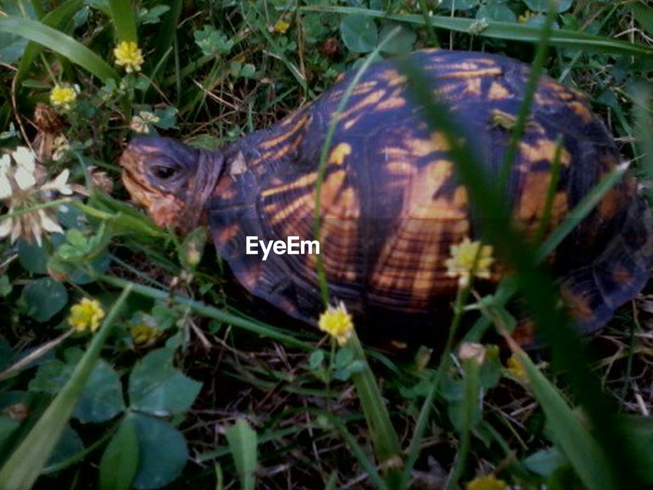 tortoise, one animal, grass, reptile, animal themes, tortoise shell, animals in the wild, day, outdoors, animal wildlife, plant, no people, nature, close-up