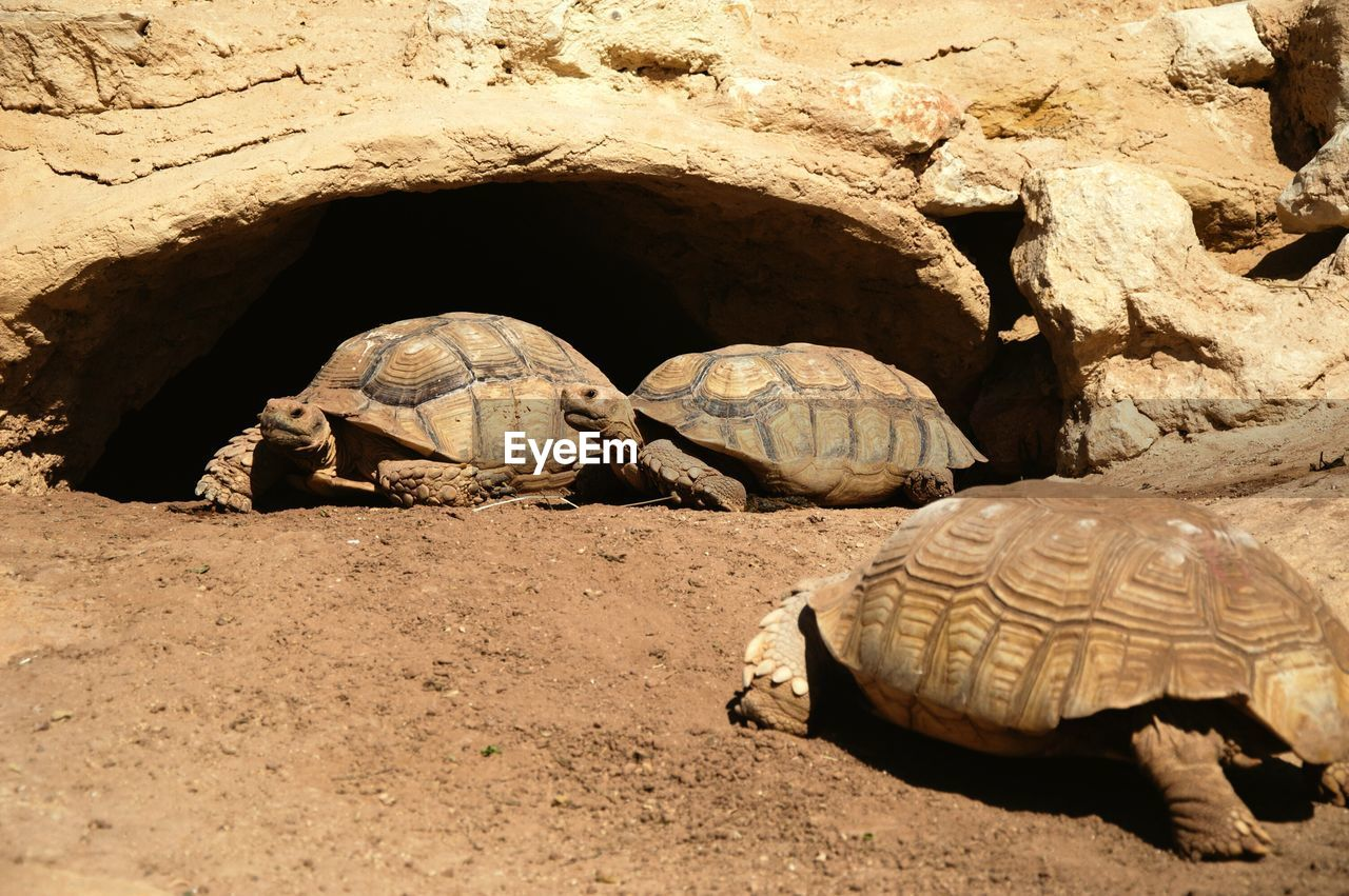 turtle, reptile, animal, animal themes, animal wildlife, vertebrate, animals in the wild, shell, tortoise, nature, day, land, one animal, no people, animal shell, rock, solid, rock - object, outdoors, tortoise shell