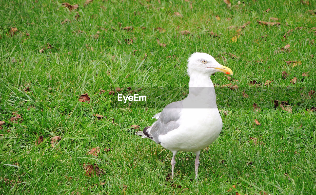 bird, grass, vertebrate, animal, animal themes, animals in the wild, green color, field, land, animal wildlife, plant, nature, white color, day, no people, one animal, growth, high angle view, outdoors, duck, seagull