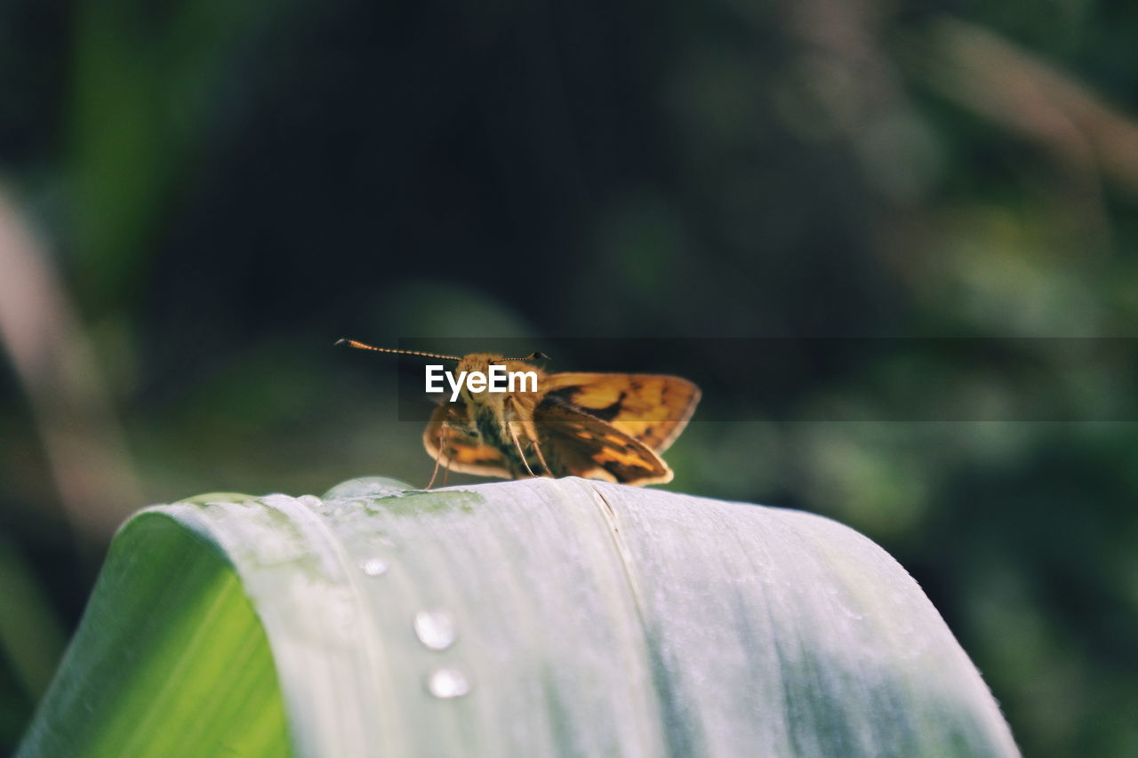 animal wildlife, invertebrate, insect, animals in the wild, animal themes, animal, one animal, close-up, plant, focus on foreground, no people, beauty in nature, selective focus, green color, nature, growth, day, flower, animal wing, vulnerability, outdoors, butterfly - insect, pollination