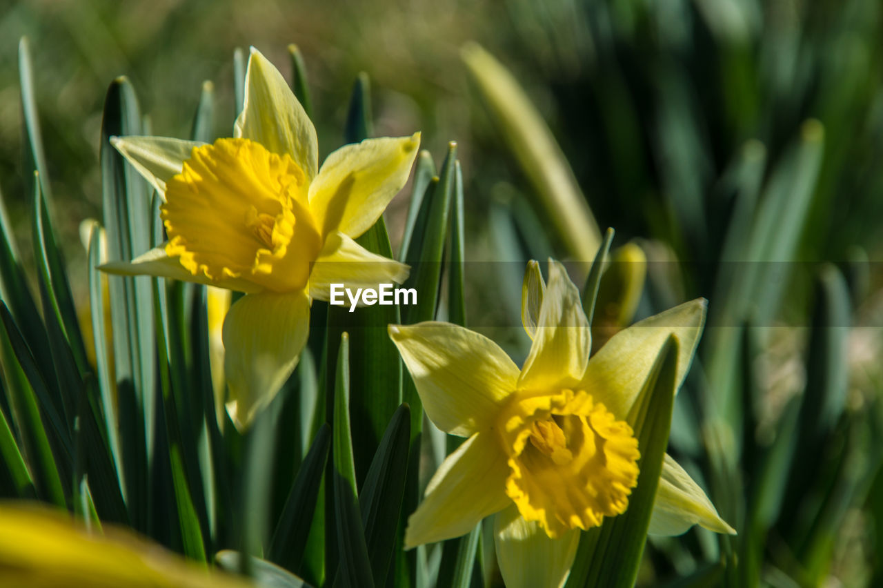 flower, yellow, fragility, petal, freshness, nature, beauty in nature, growth, flower head, daffodil, plant, green color, no people, day, close-up, outdoors, blooming, leaf, crocus
