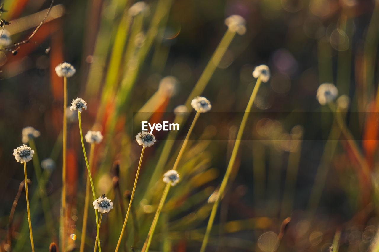 plant, flower, beauty in nature, flowering plant, growth, selective focus, close-up, freshness, vulnerability, no people, fragility, focus on foreground, nature, day, plant stem, land, outdoors, field, petal, botany, flower head, blade of grass
