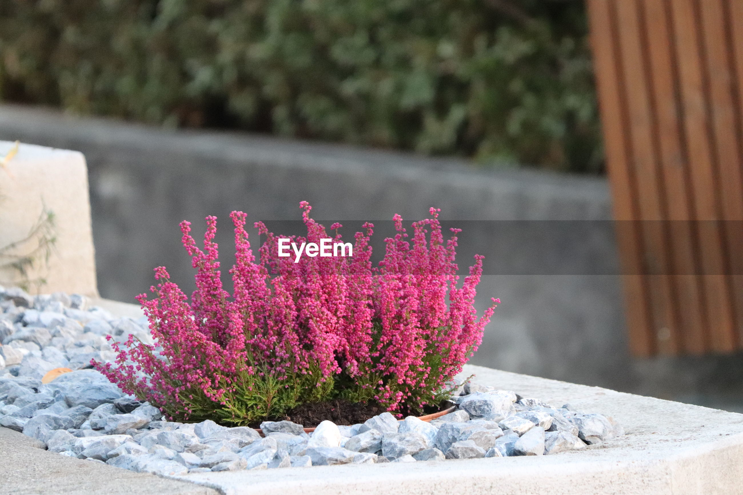 CLOSE-UP OF PINK FLOWERING PLANT ON ROCK AGAINST WALL
