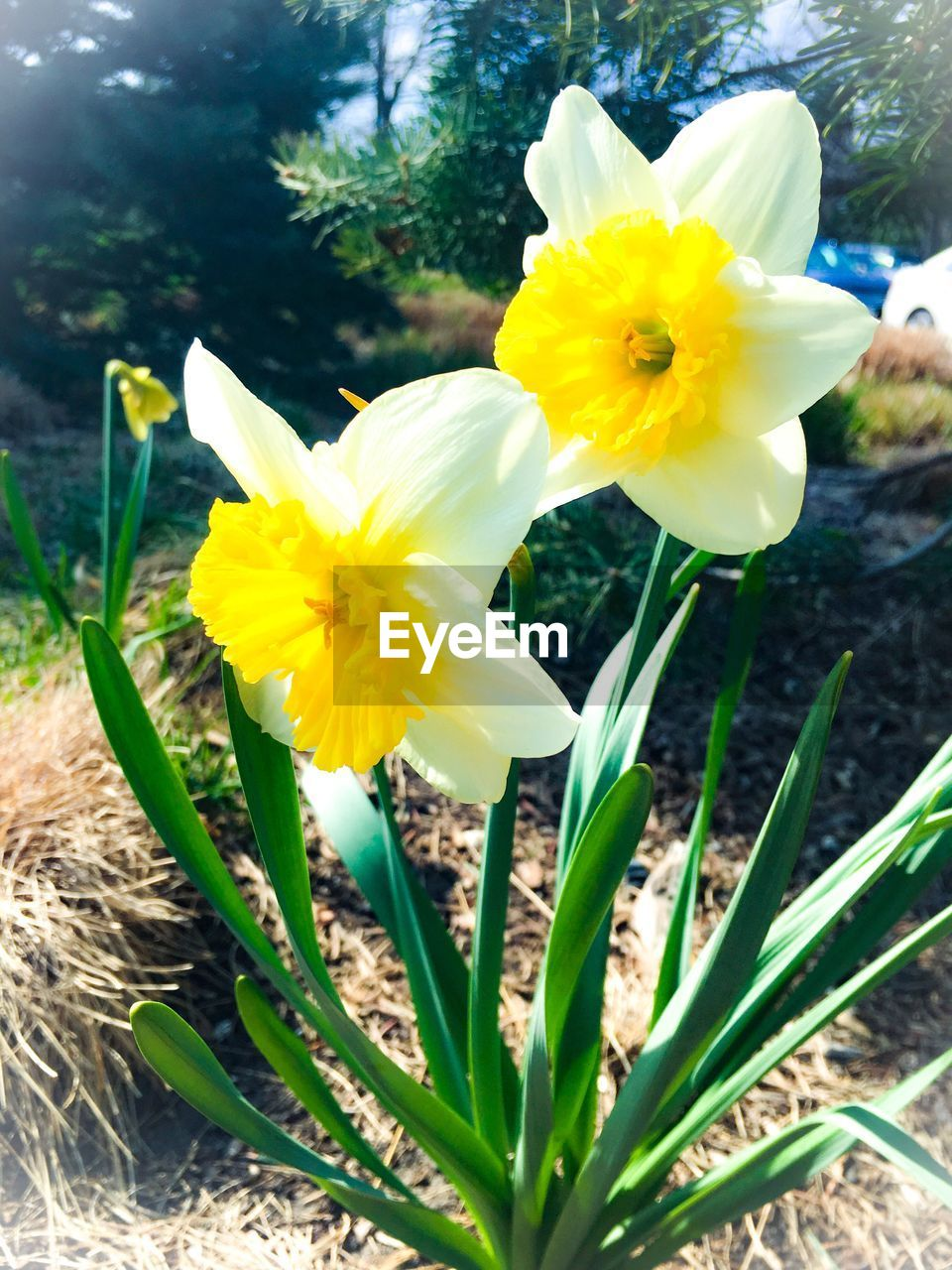 flower, yellow, petal, fragility, growth, flower head, freshness, nature, beauty in nature, plant, day, daffodil, outdoors, close-up, no people, blooming