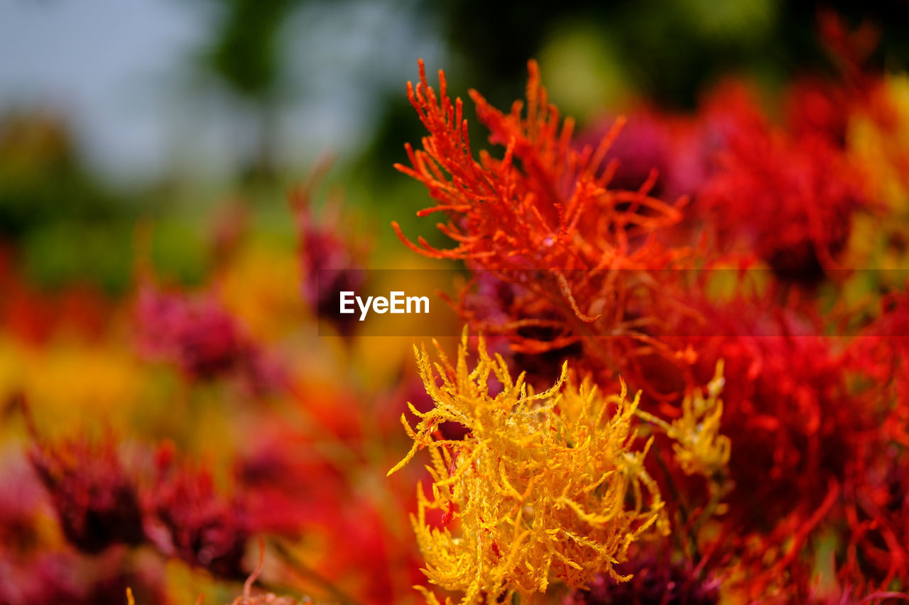 flower, plant, beauty in nature, flowering plant, fragility, close-up, vulnerability, orange color, nature, growth, selective focus, freshness, no people, petal, flower head, inflorescence, change, focus on foreground, red, day, outdoors, maple leaf