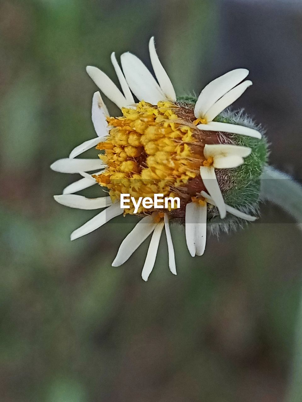 flower, petal, fragility, flower head, freshness, beauty in nature, nature, growth, plant, pollen, close-up, white color, yellow, day, blooming, focus on foreground, no people, outdoors, passion flower