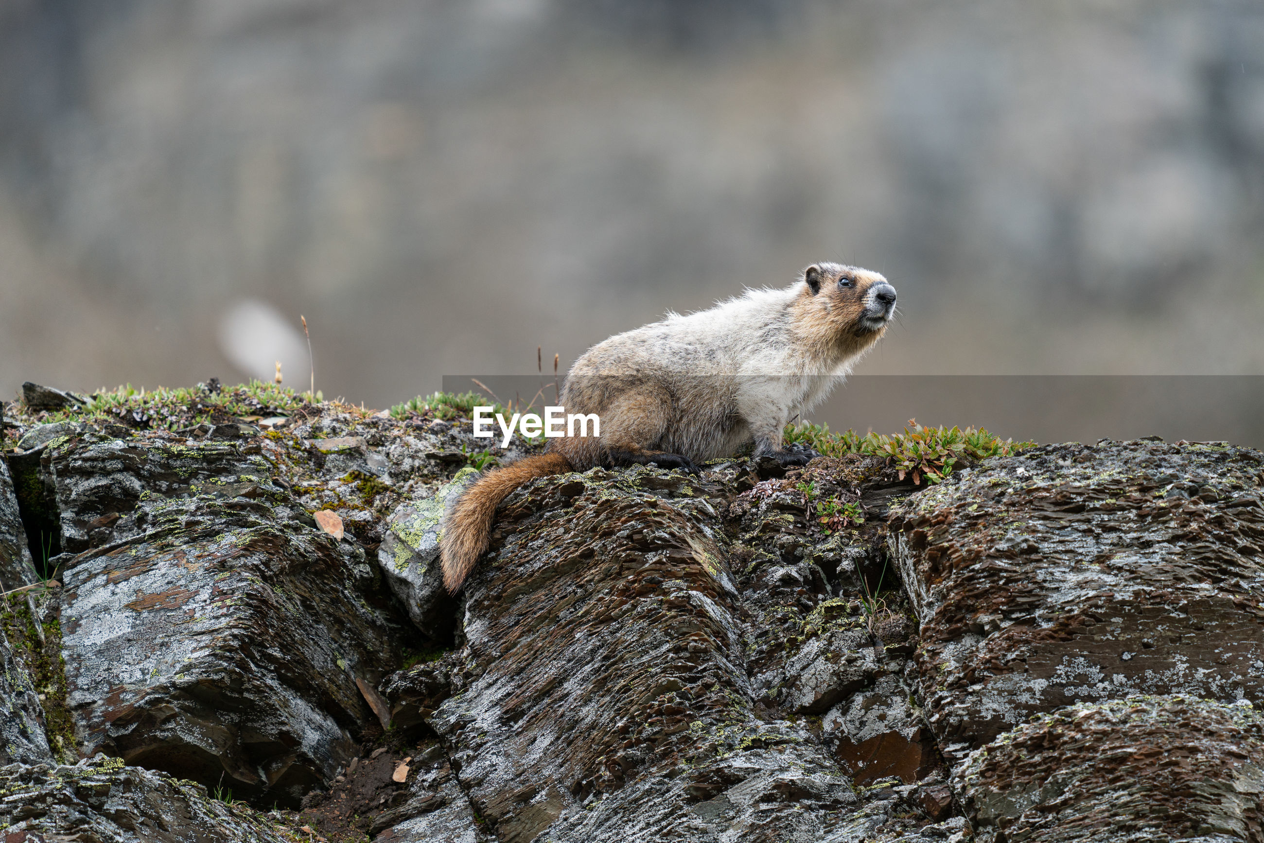 Hoary marmot sitting on wood
