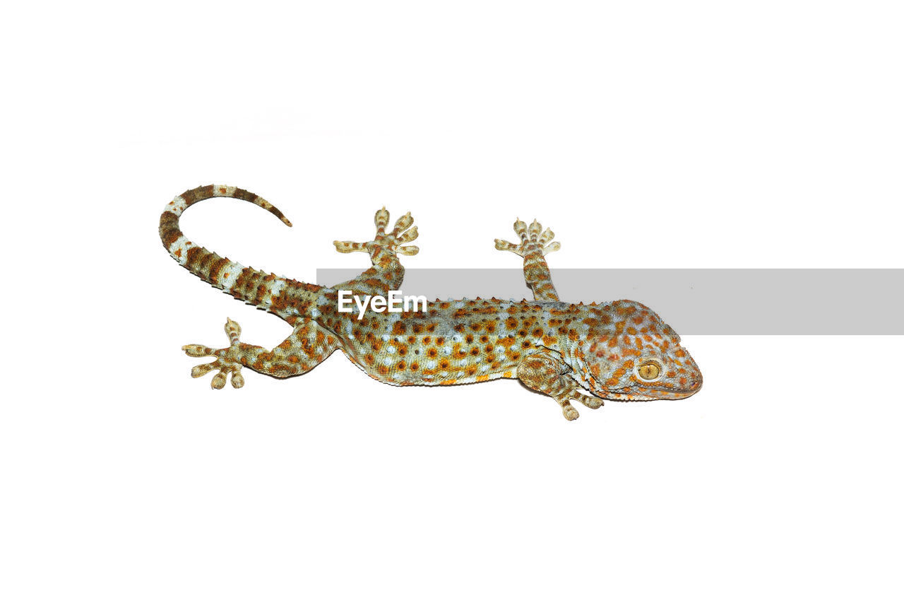 white background, studio shot, copy space, no people, close-up, animal themes, day