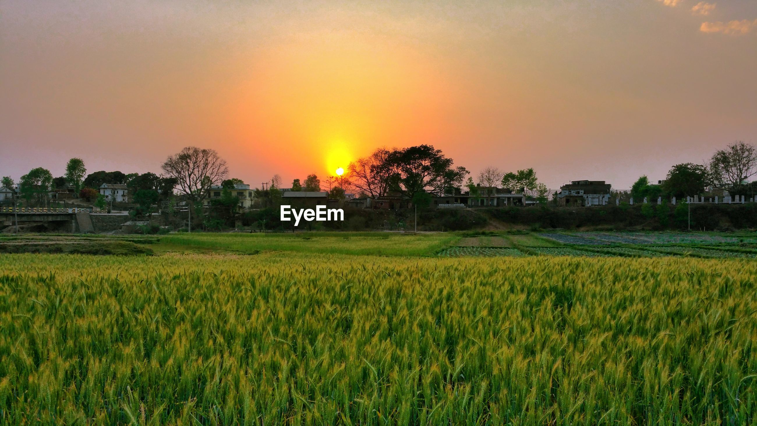 sunset, orange color, field, growth, tree, crop, nature, scenics, beauty in nature, rural scene, agriculture, rice paddy, outdoors, landscape, sky, green color, grass, sun, building exterior, architecture, no people, day