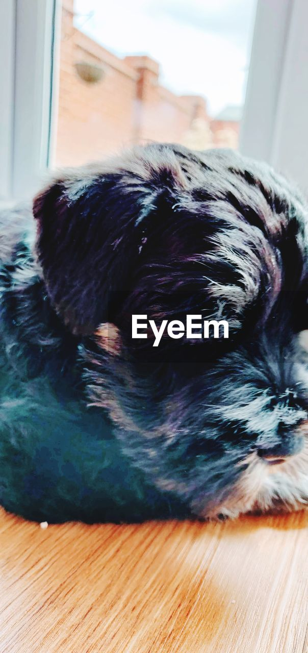 pets, domestic, one animal, domestic animals, canine, indoors, mammal, dog, animal themes, animal, home interior, no people, relaxation, vertebrate, lap dog, lying down, close-up, resting, hair, flooring, shih tzu