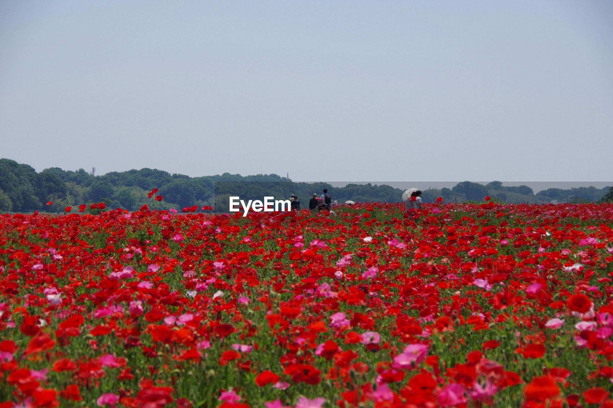 People on red poppies farm against clear sky