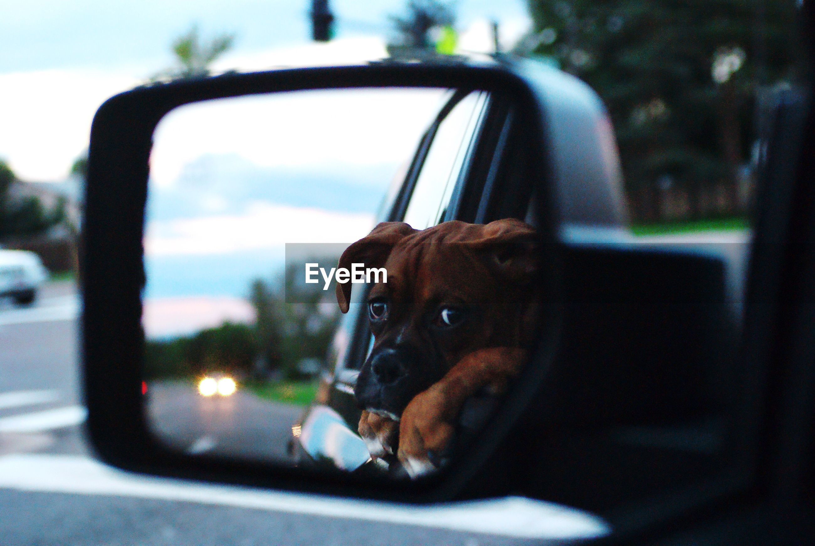 Reflection of boxer puppy on car side-view mirror
