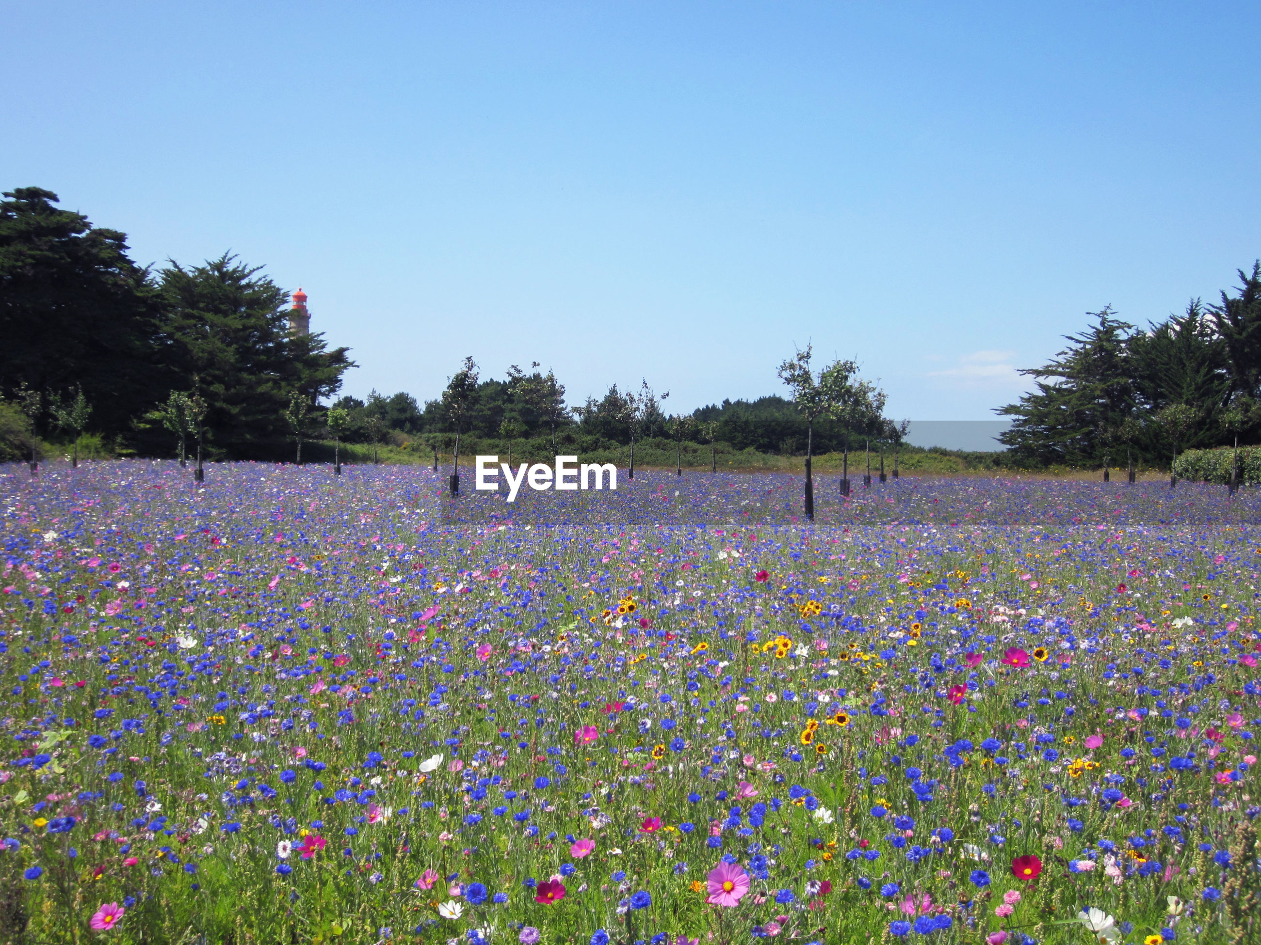 VIEW OF FLOWERS GROWING ON FIELD AGAINST CLEAR SKY