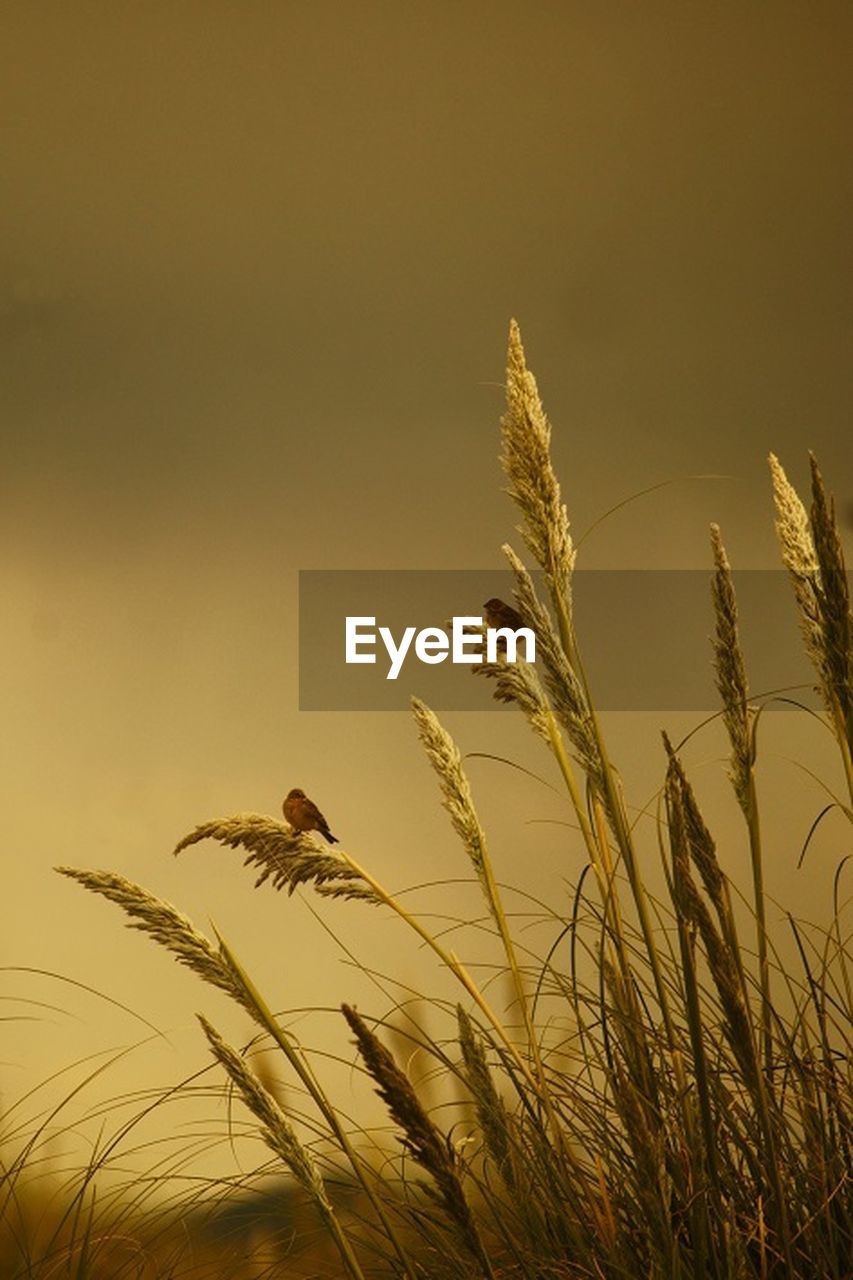 growth, nature, plant, cereal plant, bird, sunset, no people, low angle view, outdoors, beauty in nature, day, animal themes, sky