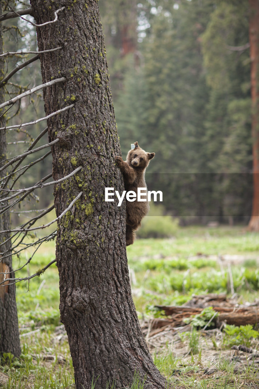 Bear on tree trunk