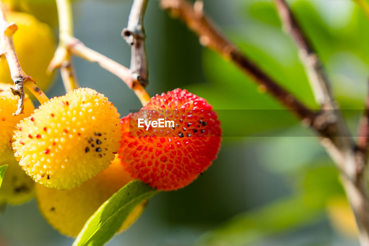 growth, plant, fruit, close-up, healthy eating, freshness, food and drink, focus on foreground, food, berry fruit, nature, day, red, no people, beauty in nature, tree, wellbeing, outdoors, selective focus, branch, ripe