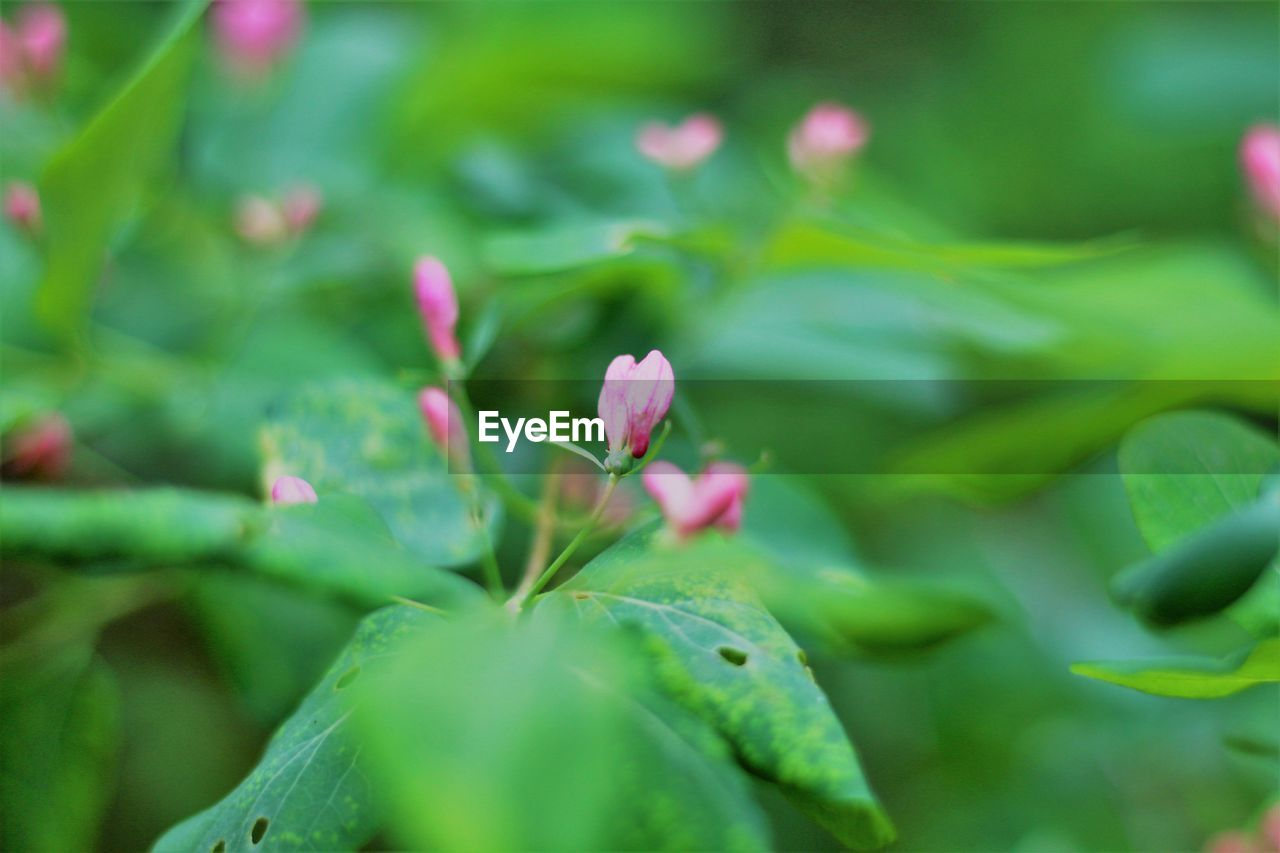 growth, plant, beauty in nature, flower, close-up, green color, flowering plant, pink color, selective focus, plant part, leaf, vulnerability, freshness, fragility, no people, day, nature, petal, outdoors, focus on foreground, flower head