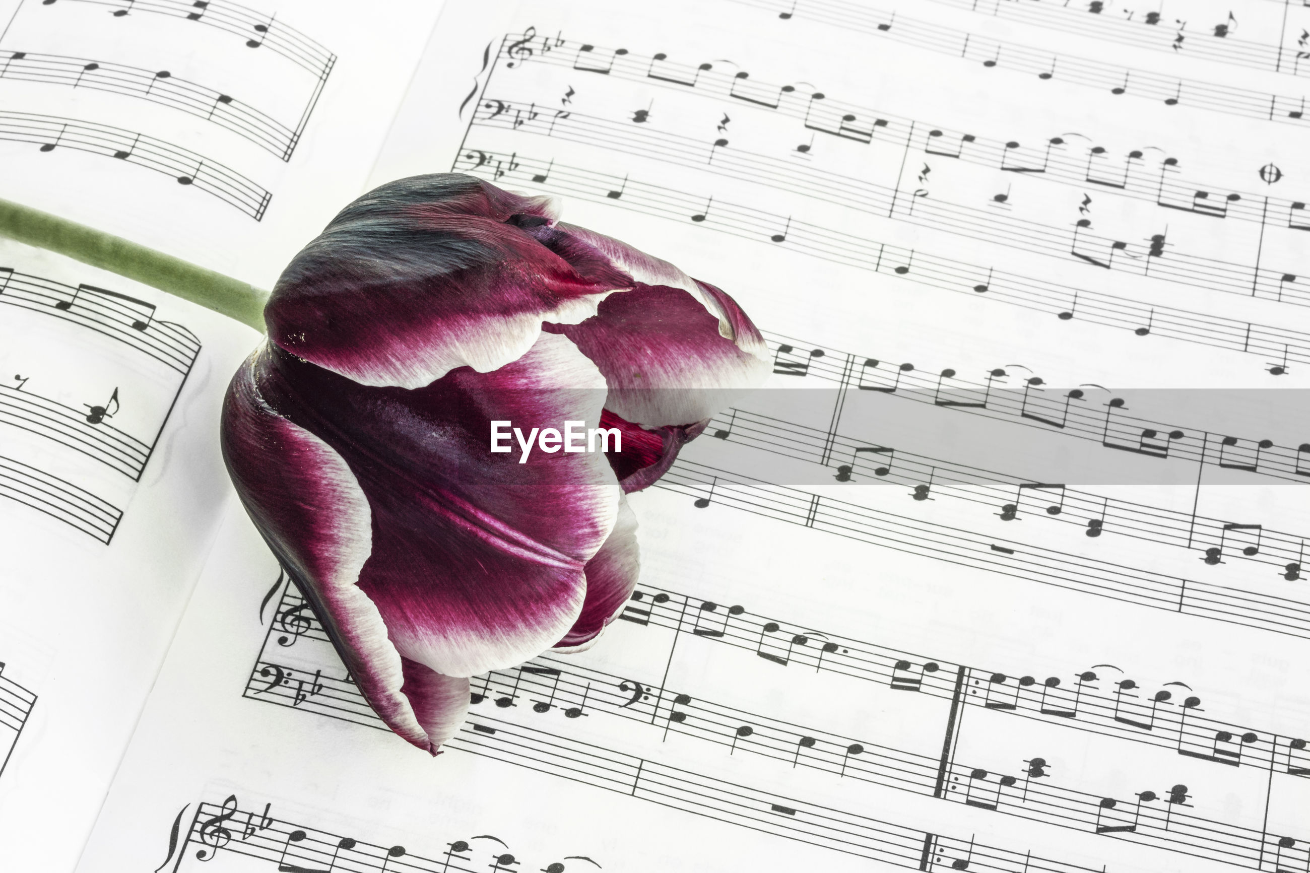Close-up of tulip on sheet music
