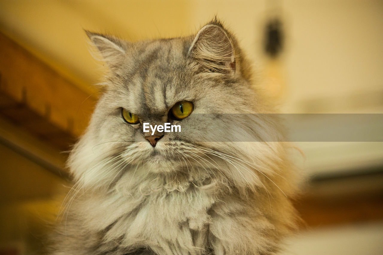 one animal, cat, domestic, mammal, pets, feline, domestic cat, domestic animals, vertebrate, focus on foreground, portrait, close-up, no people, looking at camera, whisker, yellow eyes, animal body part, maine coon cat, animal eye