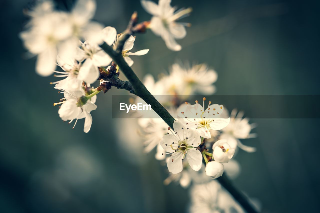 flowering plant, flower, plant, fragility, vulnerability, freshness, beauty in nature, growth, close-up, petal, white color, tree, nature, flower head, inflorescence, blossom, no people, focus on foreground, day, selective focus, pollen, springtime, outdoors, cherry blossom, cherry tree, plum blossom, spring