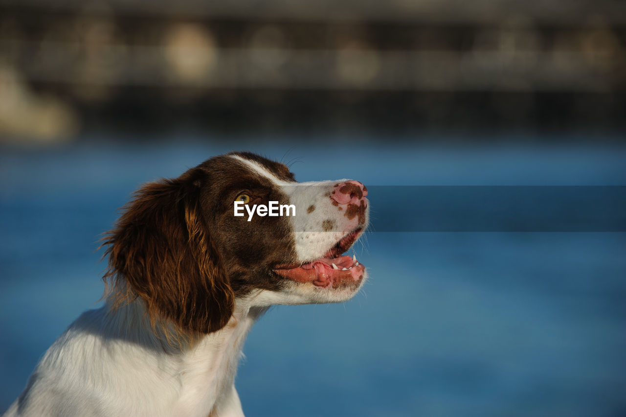 ALERT BRITTANY SPANIEL DOG LOOKING UP