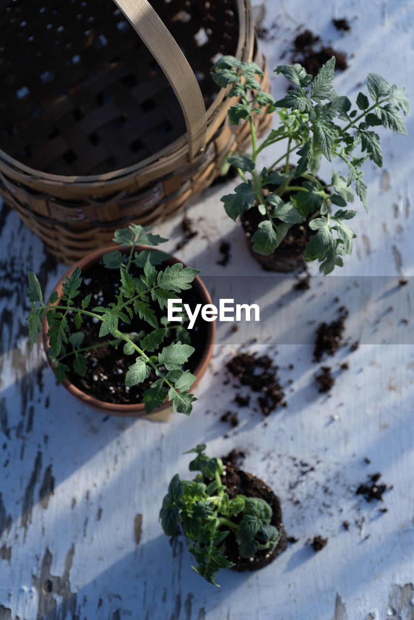 plant, high angle view, potted plant, leaf, no people, plant part, freshness, herb, nature, food and drink, growth, green color, food, container, table, day, close-up, healthy eating, wellbeing, focus on foreground, flower pot