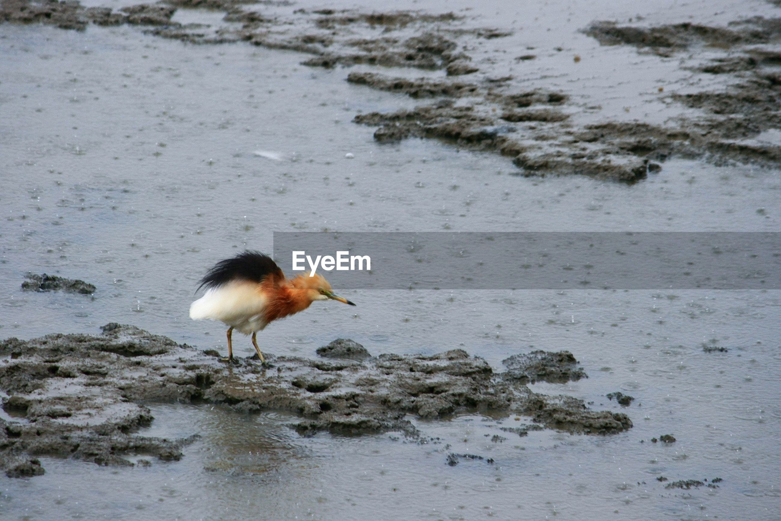 Bird on marshy land during rains