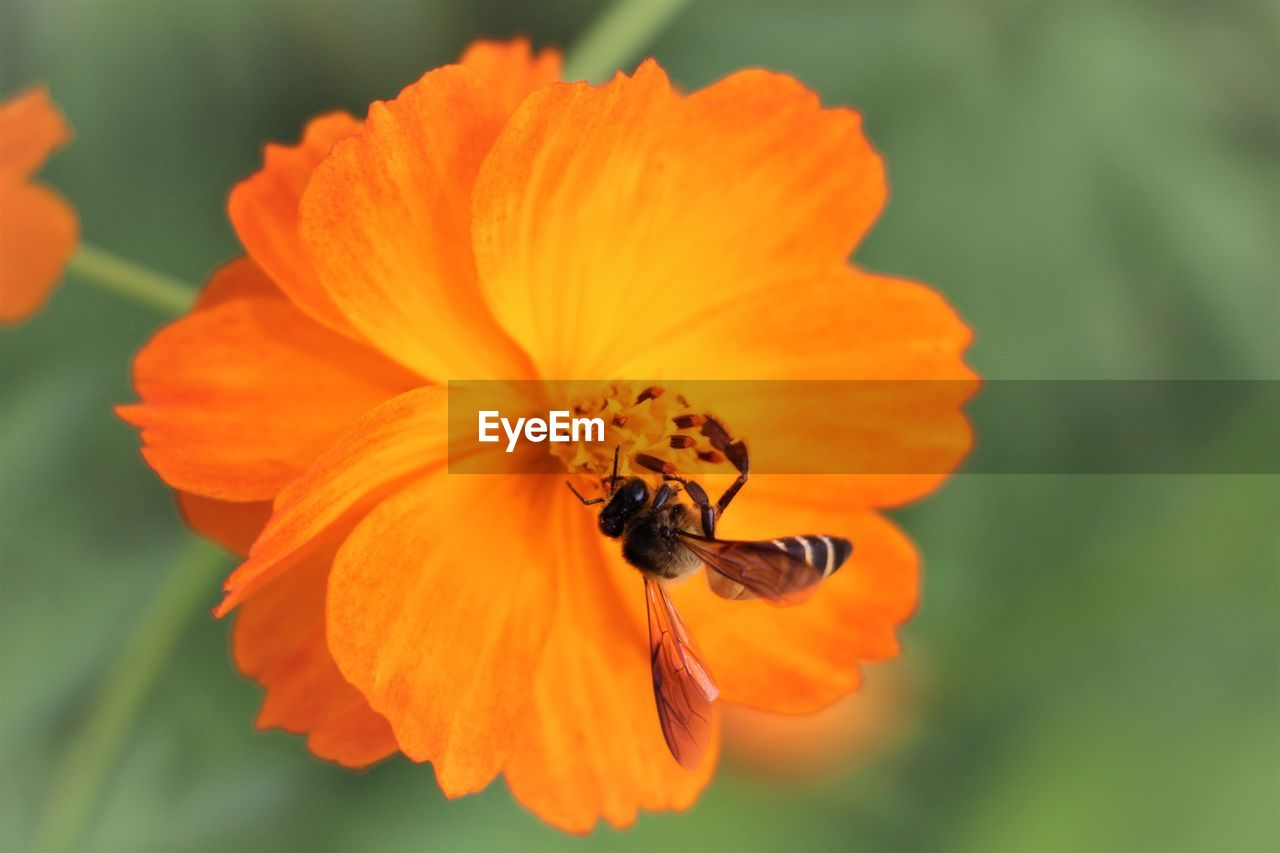 CLOSE-UP OF BEE POLLINATING ON ORANGE FLOWER