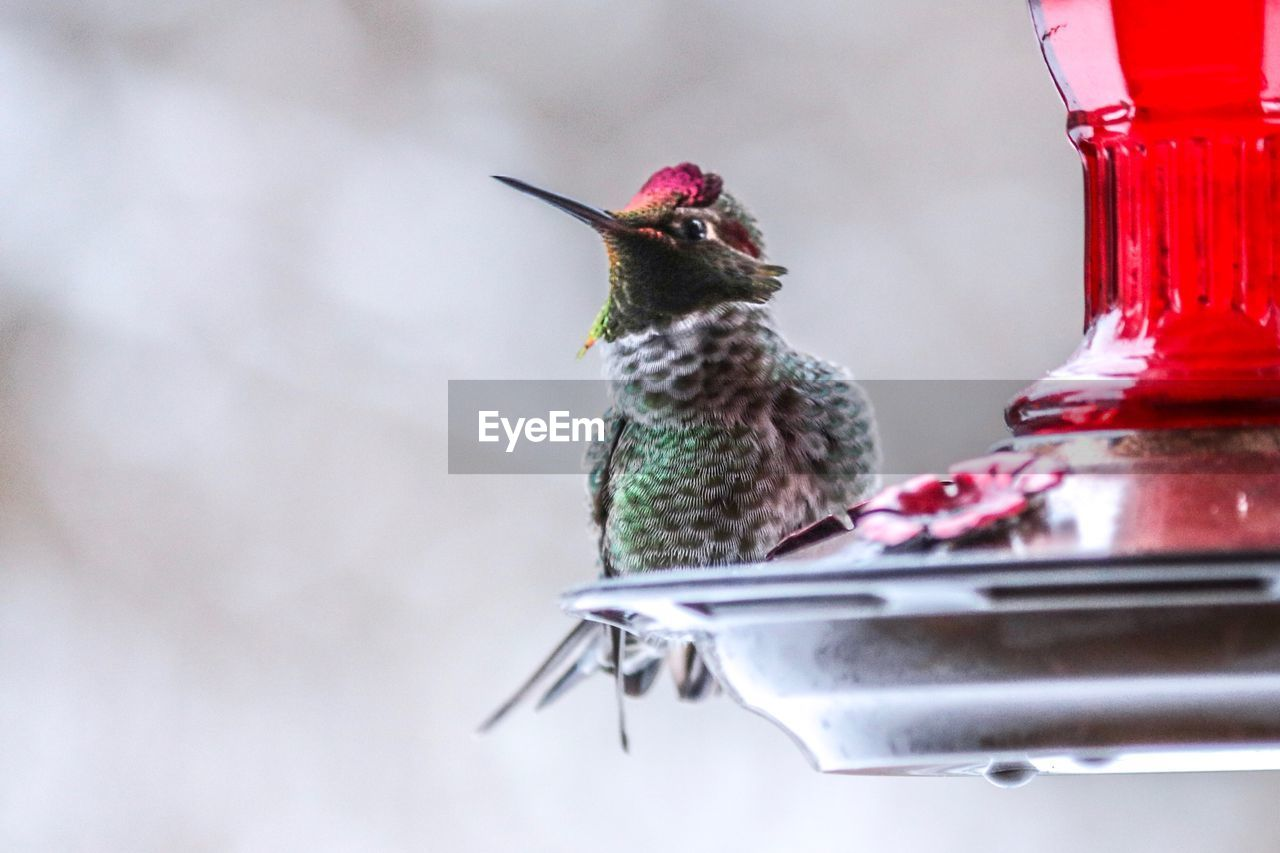 bird, animal themes, vertebrate, animal, one animal, bird feeder, animal wildlife, hummingbird, animals in the wild, no people, day, perching, close-up, red, focus on foreground, nature, outdoors, beak, beauty in nature, selective focus